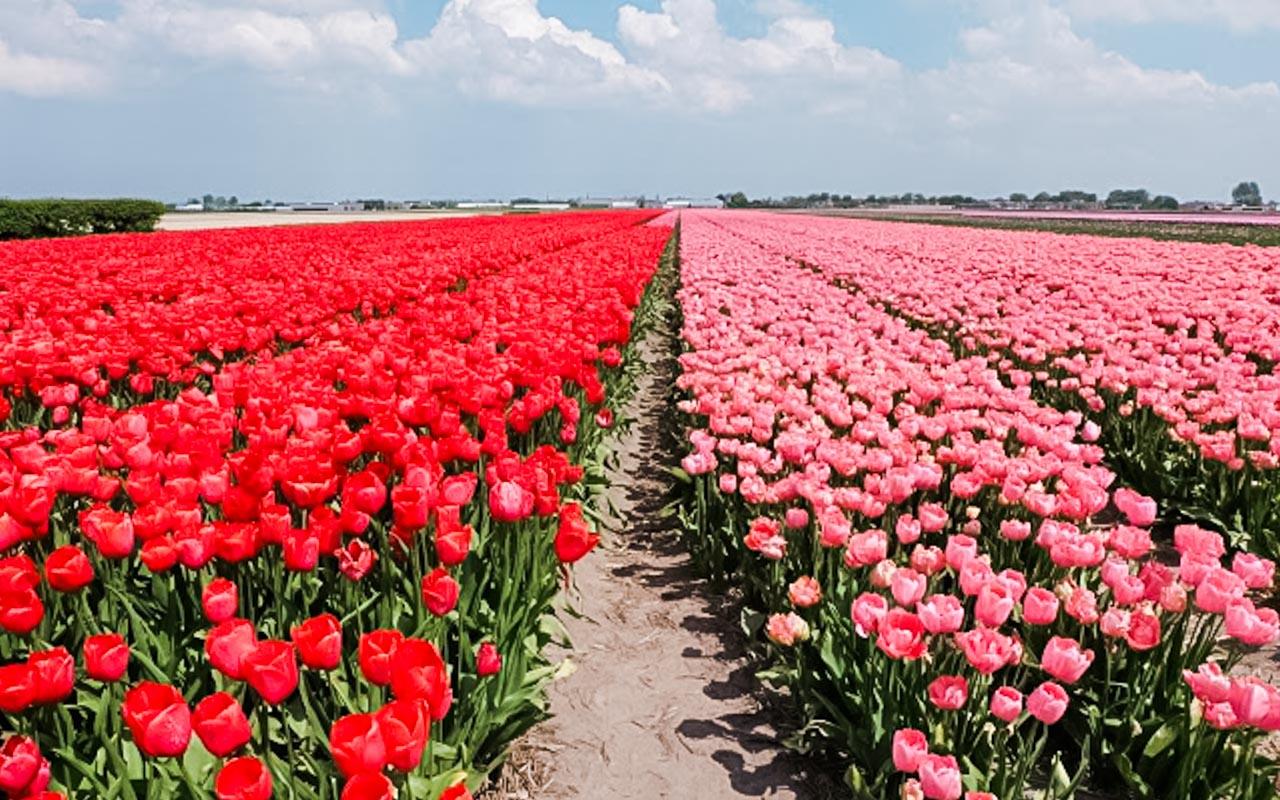 Taman Tulip Keukenhof di Belanda