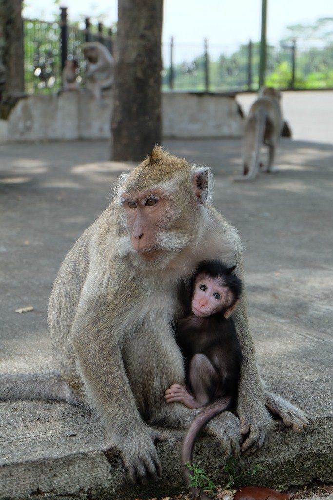 monyet goa kreo
