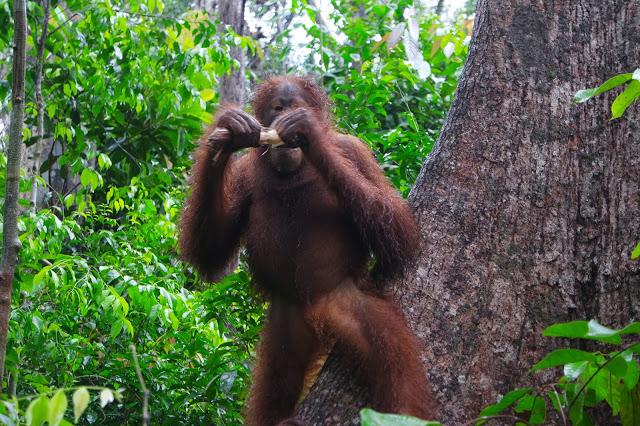 camp-leakey-orangutan