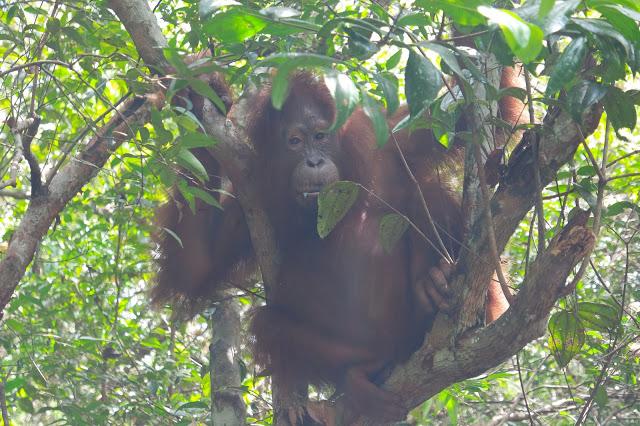 orangutan-pondok-tanggui
