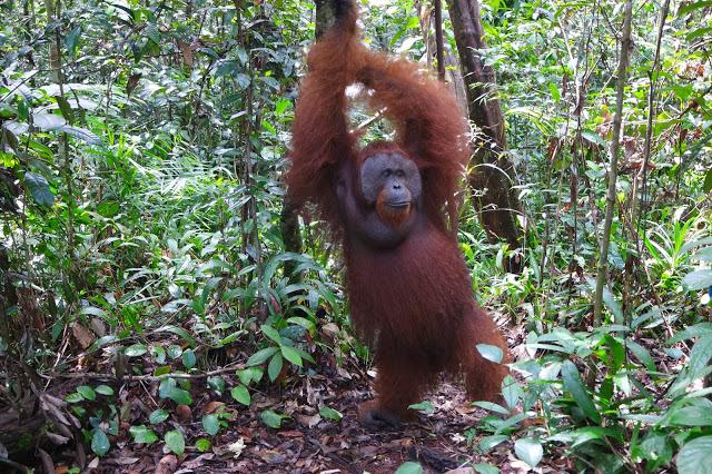 orangutan-pose