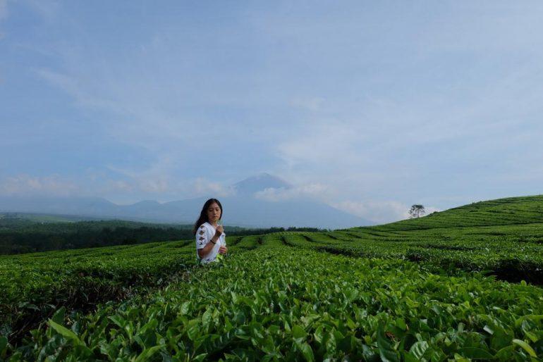 kebun teh kayu aro