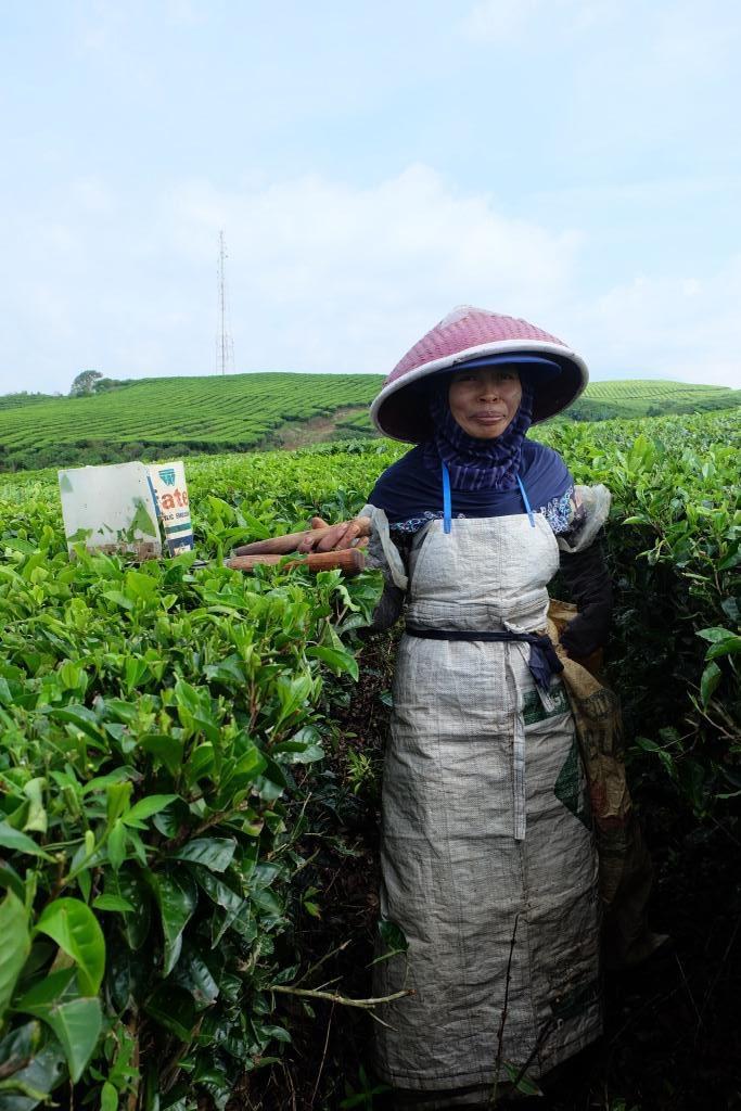 pemetik teh kayu aro