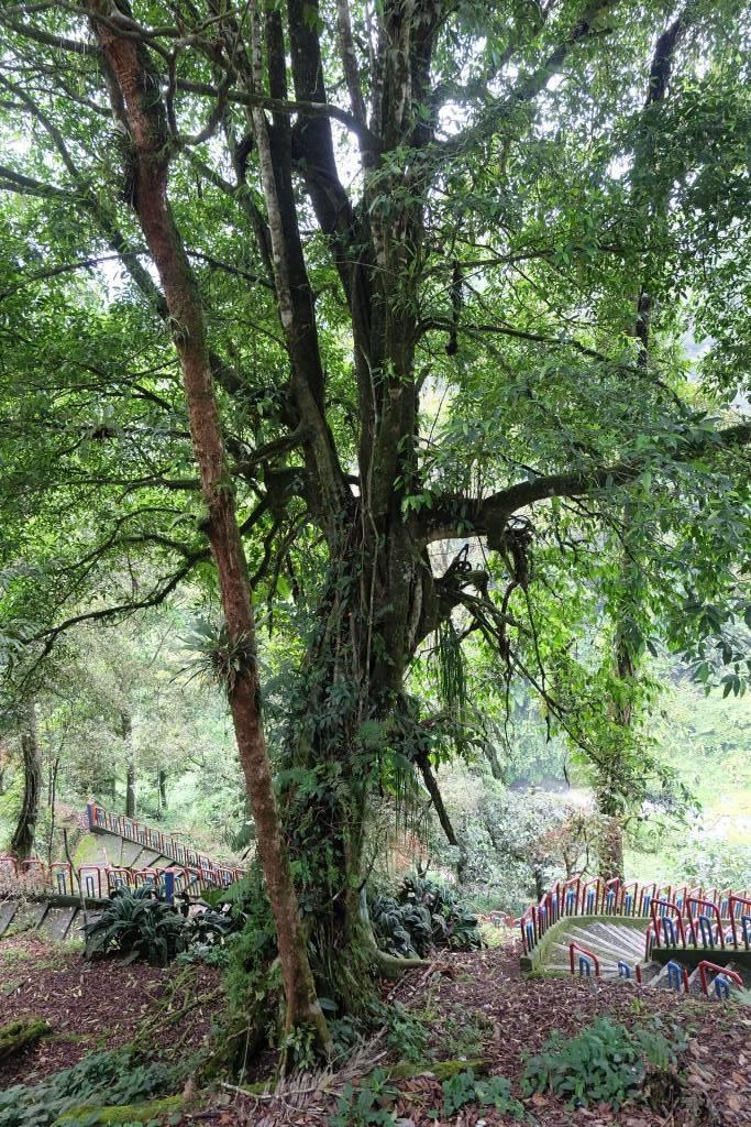 pohon kayu aro