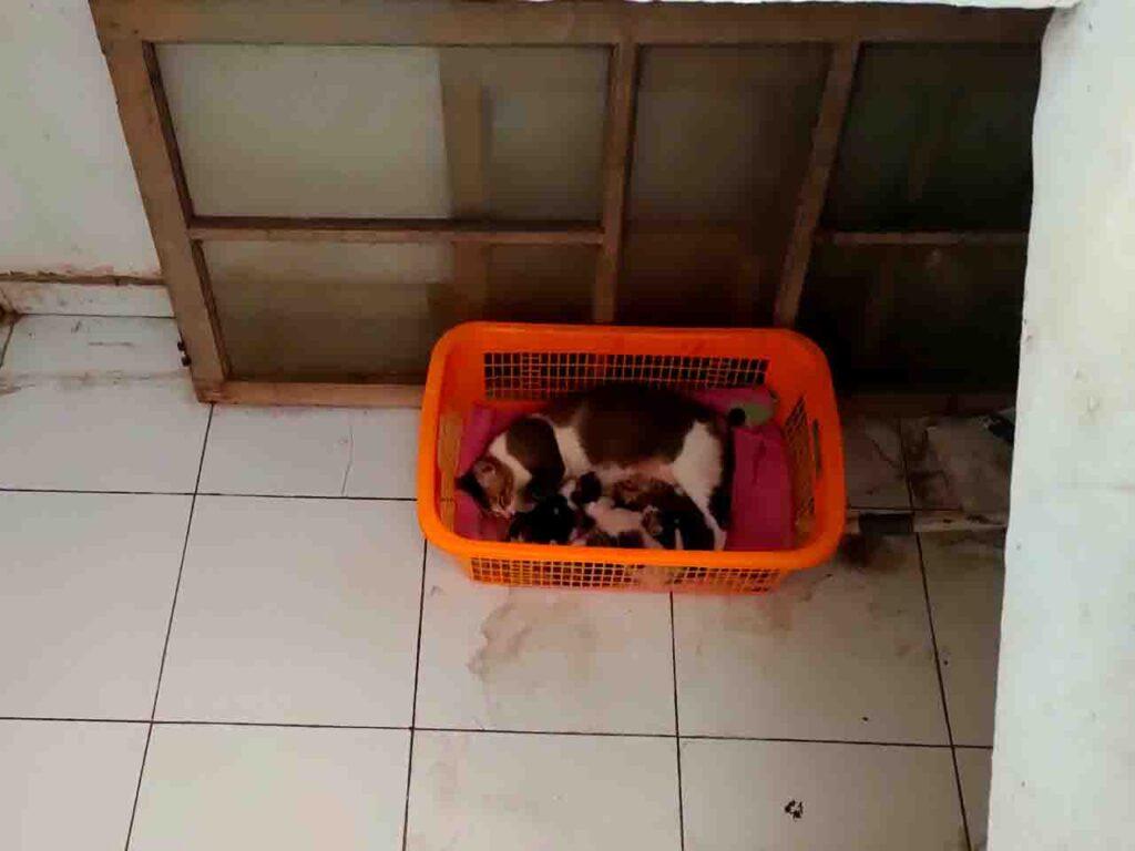 kucing melahirkan